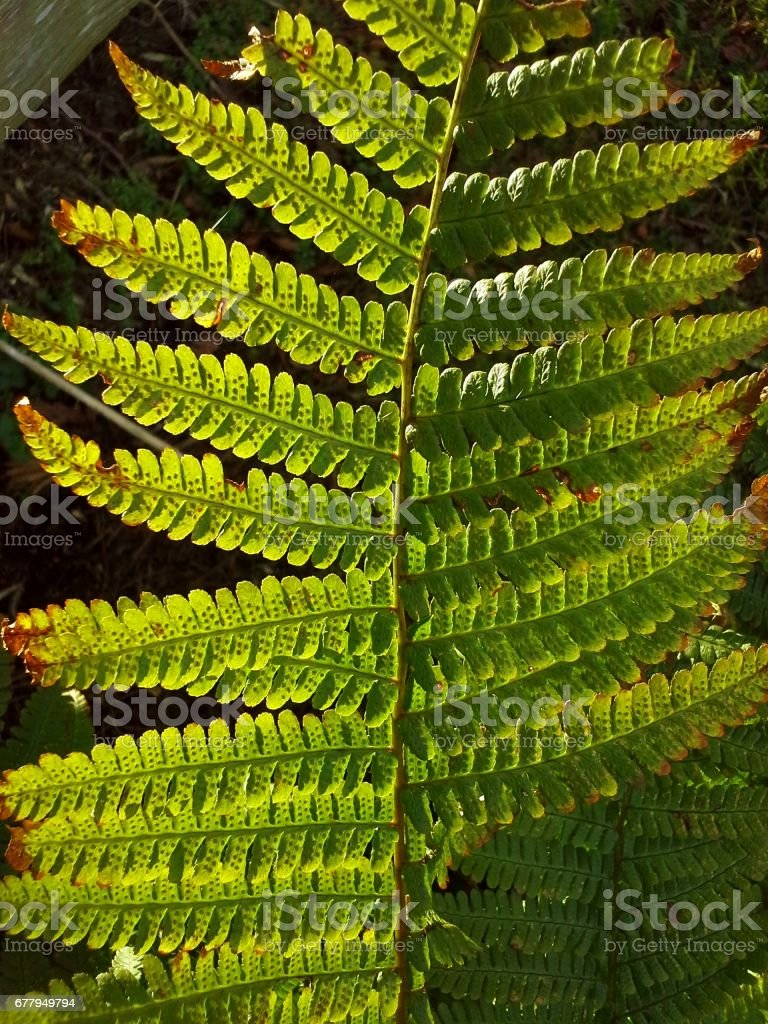 Translucent Green Fern royalty-free stock photo