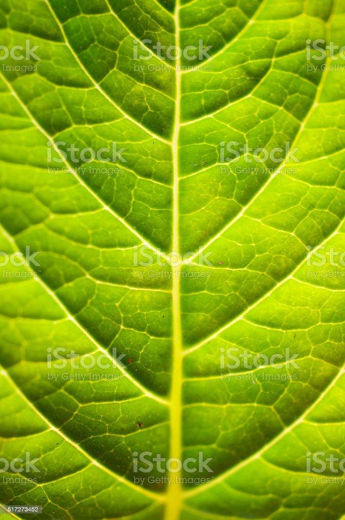 半透明の緑色の葉 ストックフォト