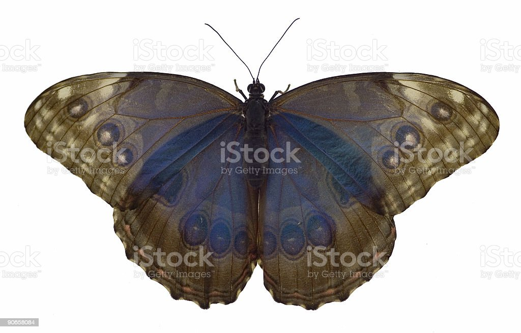 Translucent Morpho (Morphidae) Butterfly - Isolated royalty-free stock photo