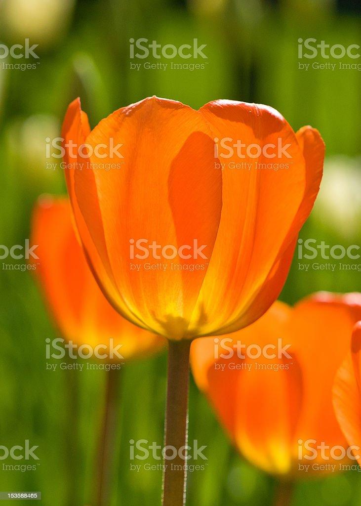 Translucent orange tulip stock photo