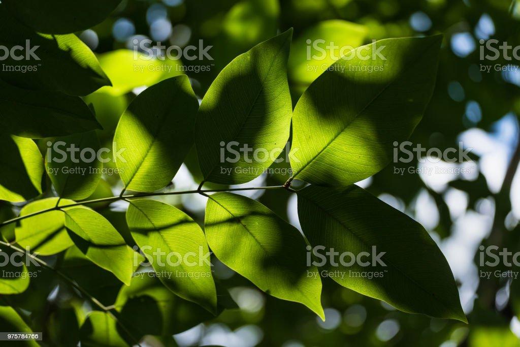 Transluzente Baum Blätter auf Sonnenlicht sonnigen Sommertag. Thailand. - Lizenzfrei Ast - Pflanzenbestandteil Stock-Foto