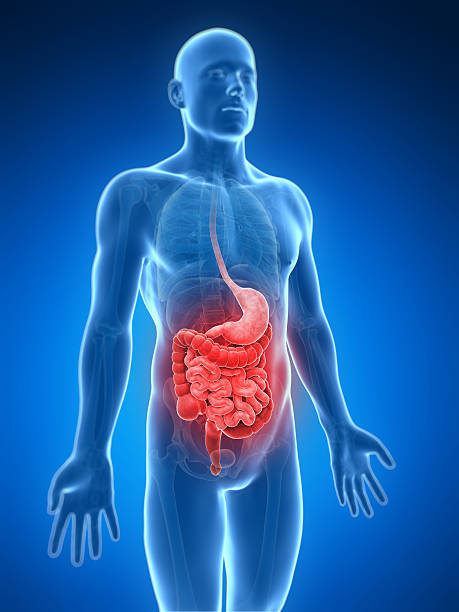 transparent blue body showing the digestive system in red - human intestine stock photos and pictures