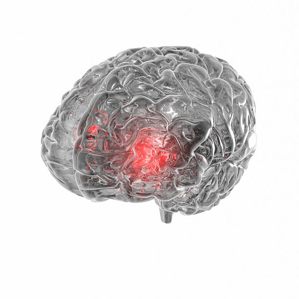 "Transparent human Brain isolated on white background ""Full CG images made by my self, showing a human brain on white background. Illness and Stroke or activity as point of view."" auditory cortex stock pictures, royalty-free photos & images"