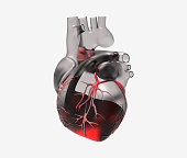 3D transparent human heart with blood and vein