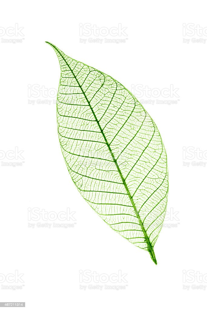 Transparent leaf  isolated on white background stock photo