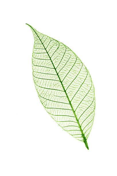 Transparent feuilles isolé sur fond blanc - Photo