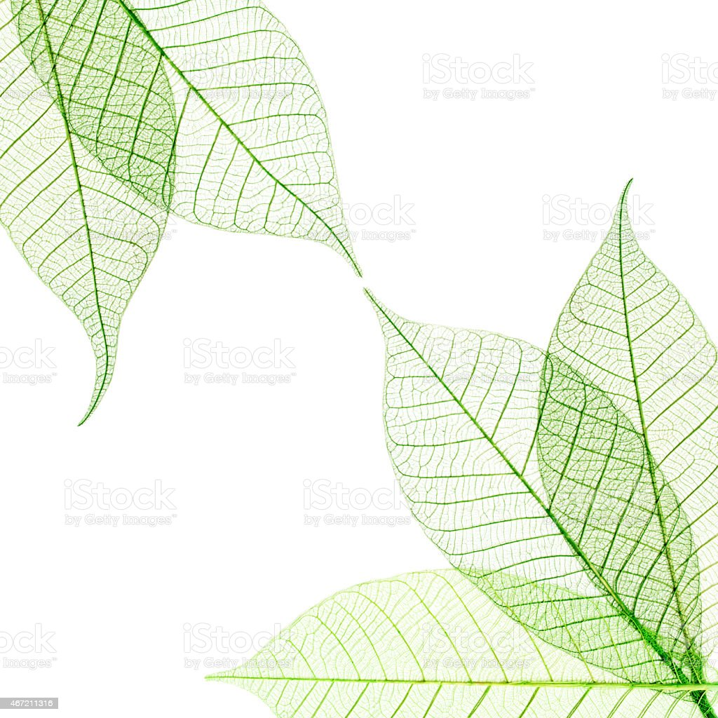 Transparent leaves composition  isolated on white background stock photo