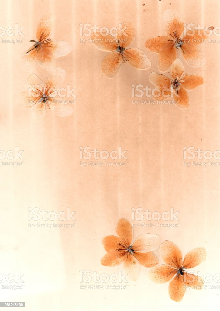 Transparent pressed flowers and petals of apple stock photo