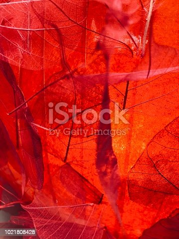 Transparent red leaves