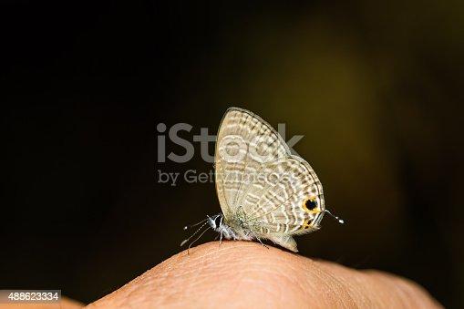 Close up of Transparent Six-line Blue (Nacaduba kurava) butterfly feeding sweat on human hand