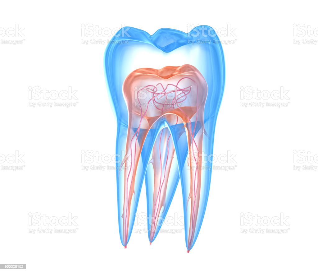 Transparent teeth. 3d renderings of endodontics inner structure over white background - Royalty-free Anatomy Stock Photo