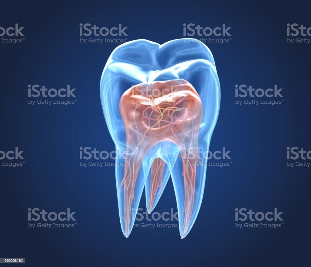 Transparent teeth. 3d renderings of endodontics inner structure stock photo