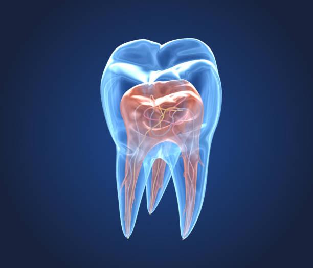transparante tanden. 3d-weergaven van de innerlijke structuur van de endodontologie - dentine stockfoto's en -beelden