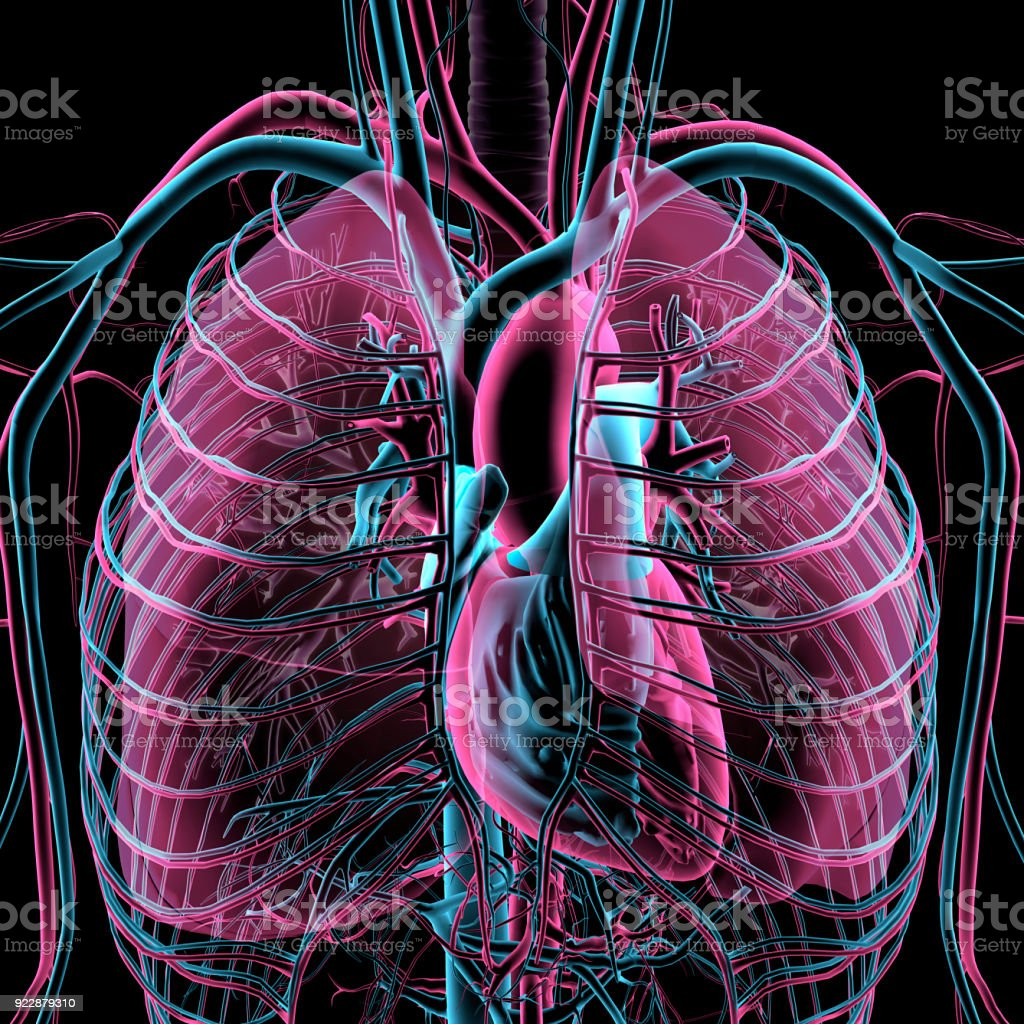 Transparent Xray View Of Human Chest Heart Lungs Arteries Veins