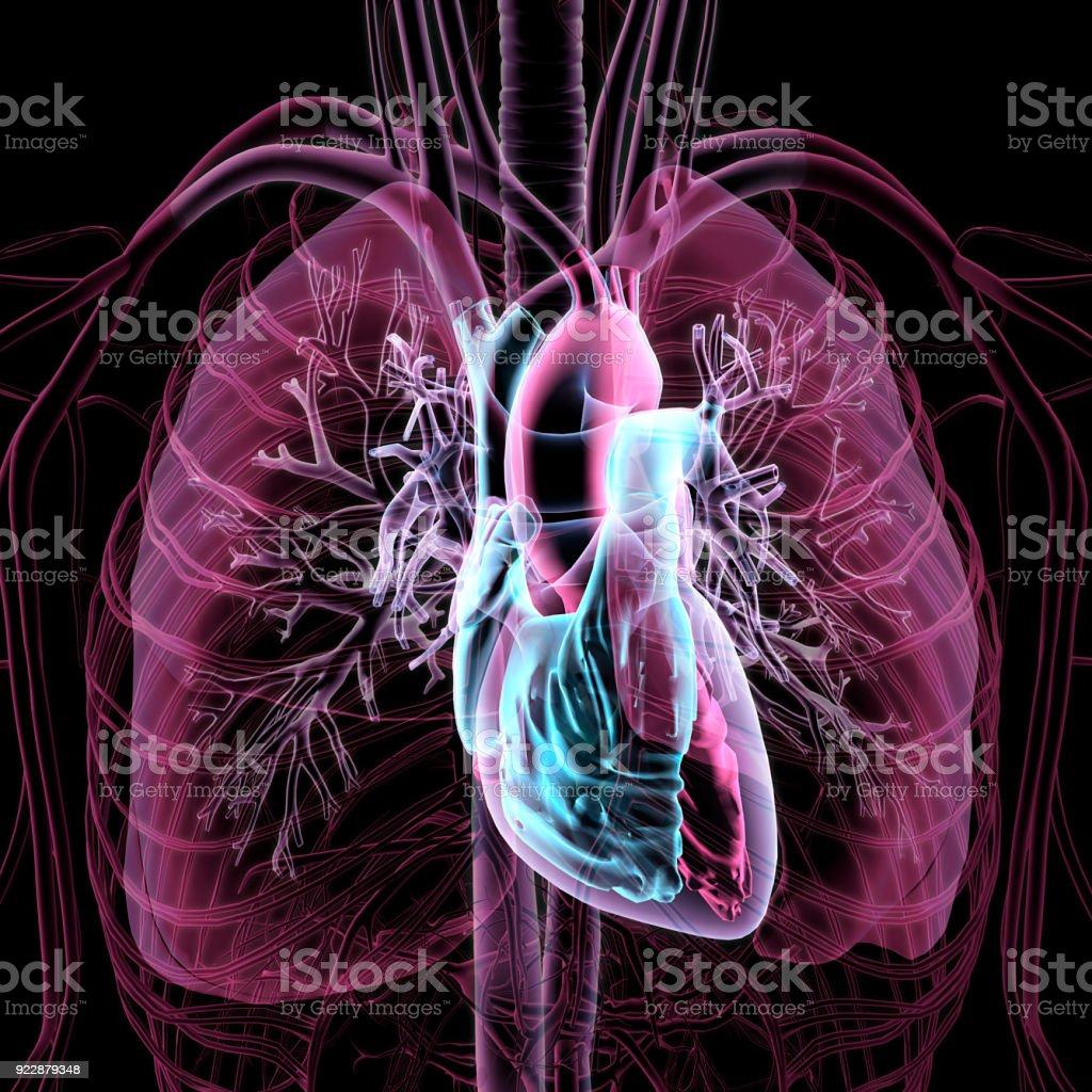 Fotografía de Vista Transparente Radiografía Del Pecho Humano ...