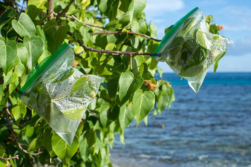 Transpiration bags on leafy branches