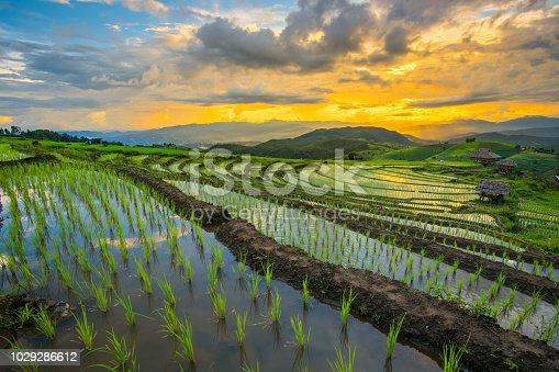 transplant rice terrace seedlings field in Ban Pa Bong Piang, Chiagmai, the north of thailand, during dusk twilight sky