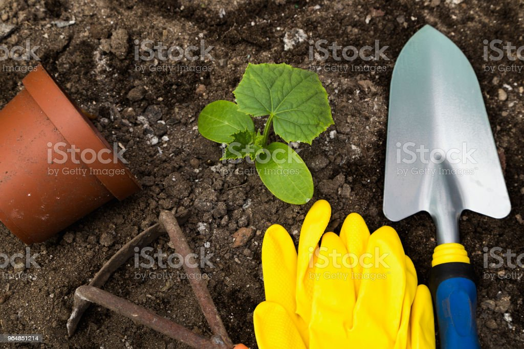 Transplanting cucumber into the ground royalty-free stock photo