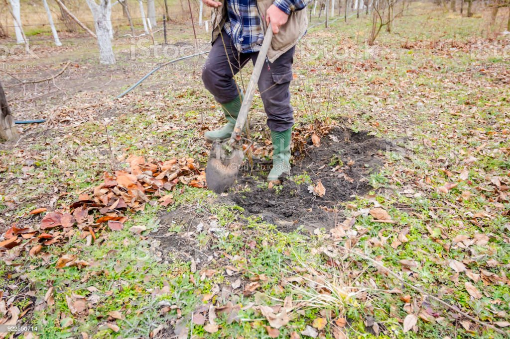 Transplanting new scion with roots, dibble fruit tree stock photo