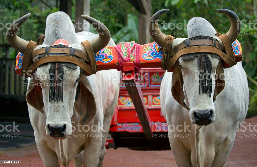 Transport cows stock photo