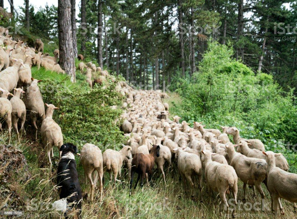 Migración de ovejas Transumanza - foto de stock