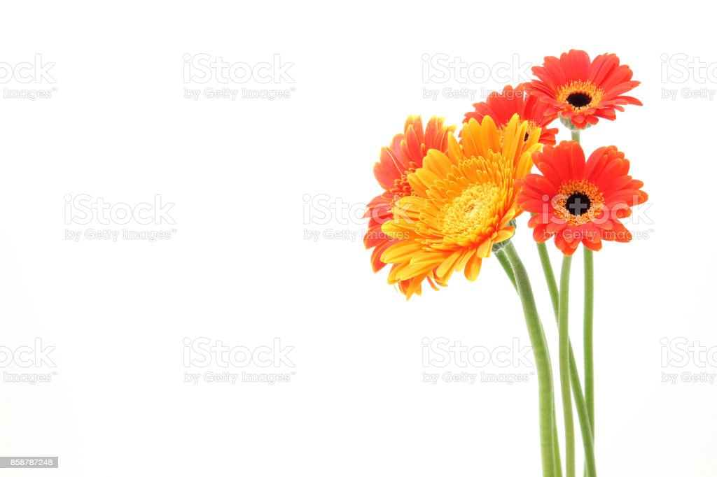 Transvaal daisy in a white background stock photo
