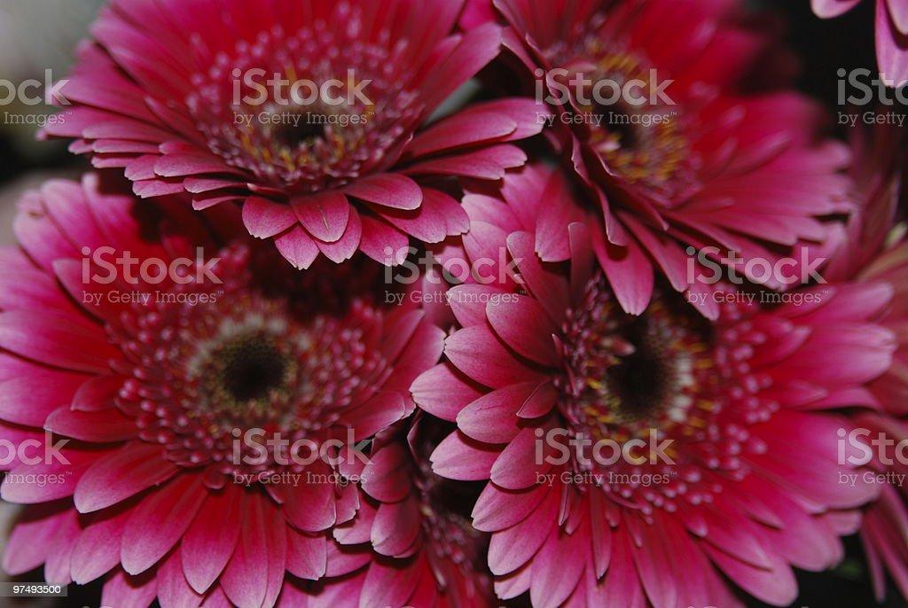 Transvaal daisy royalty-free stock photo