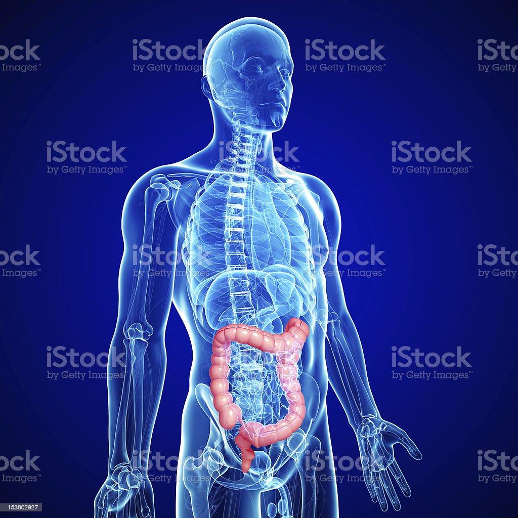transverse colon of male body anatomy stock photo