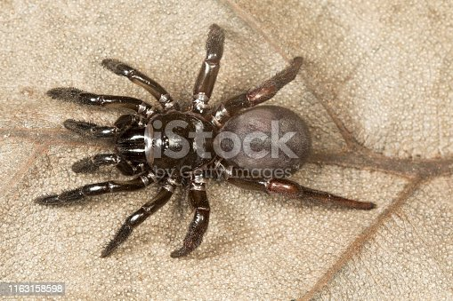 Trapdoor spider, Idiops sp., Barnawapara WLS, Chhattisgarh. Idiopsis a spider genus in the familyIdiopidae. The species are found in South America, Africa, South Asia and the Middle East.