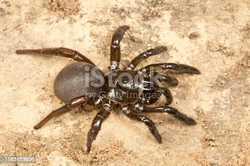 Trapdoor spider, Idiops sp., Barnawapara WLS, Chhattisgarh. FamilyIdiopidae. The species are found in South America, Africa, South Asia and the Middle East.