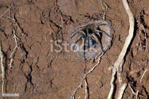 Trapdoor spider in mud burrow, Queensland, Australia