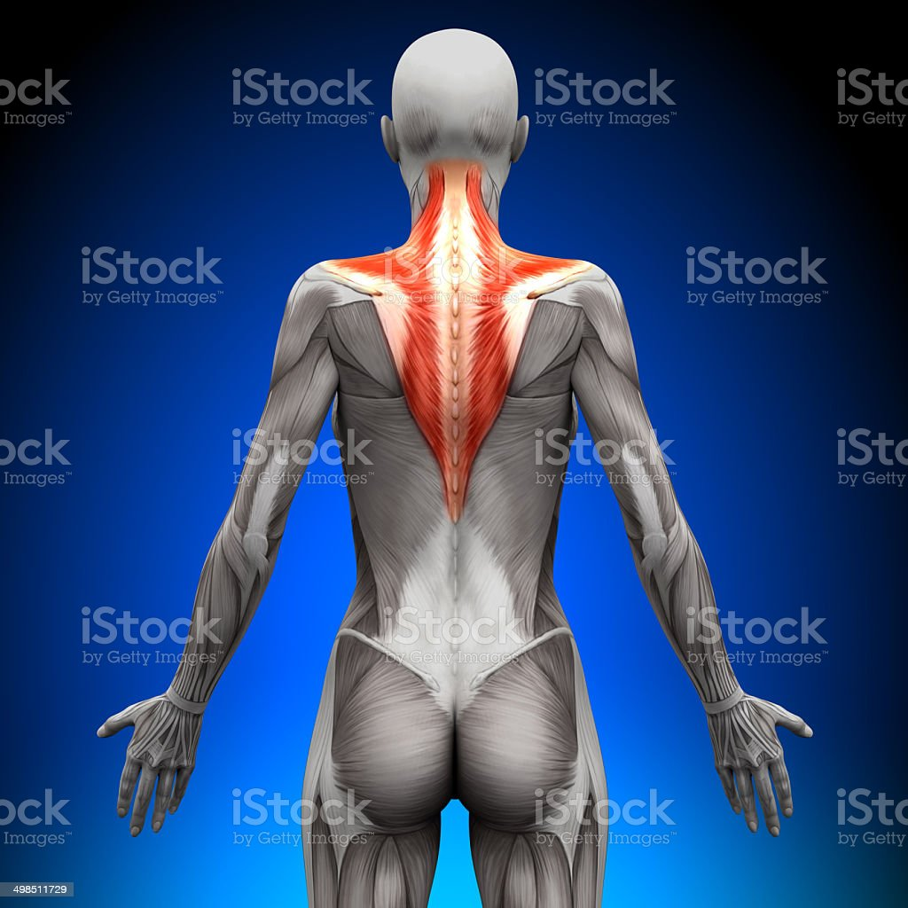 Trapezius - Female Anatomy Muscles stock photo