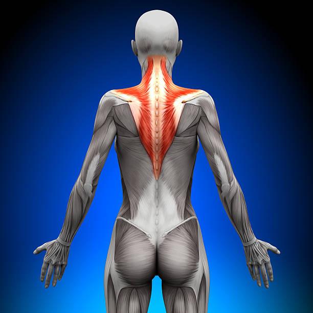 anatomía los músculos trapezius-hembra - músculo humano fotografías e imágenes de stock