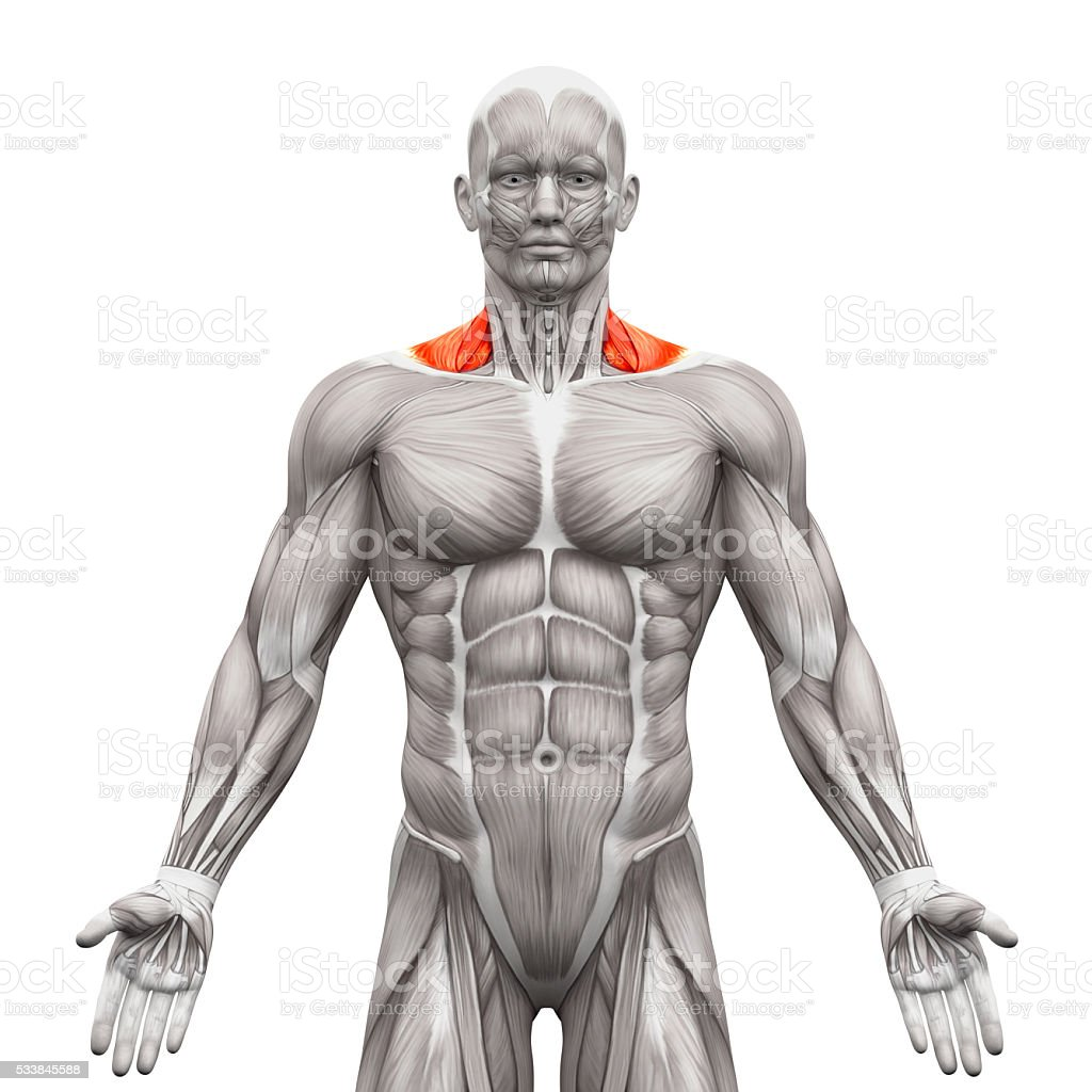 Trapezius Front Neck Muscles Anatomy Muscles Isolated On White Stock ...