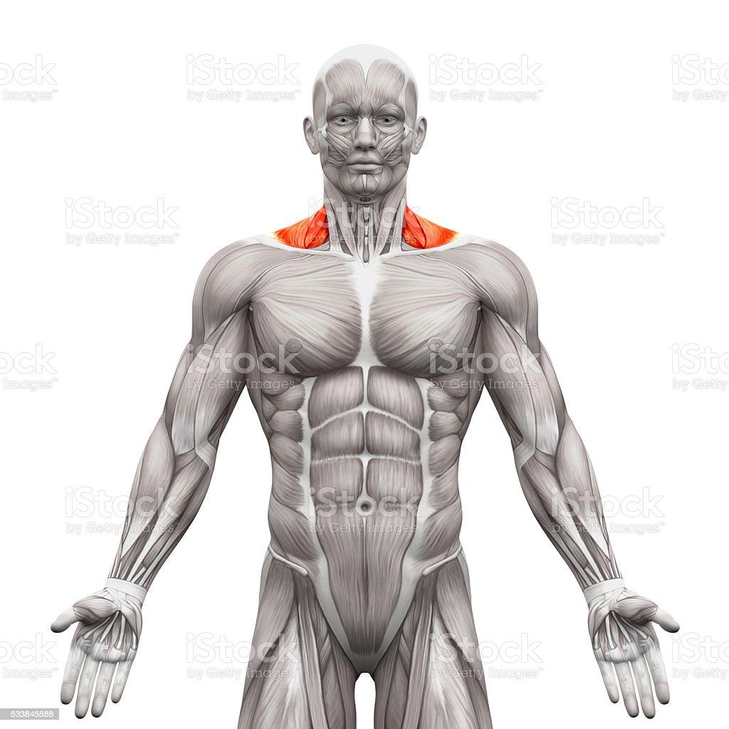 Fotografía de Trapecio Frontal Músculos Cervicales De Anatomía ...
