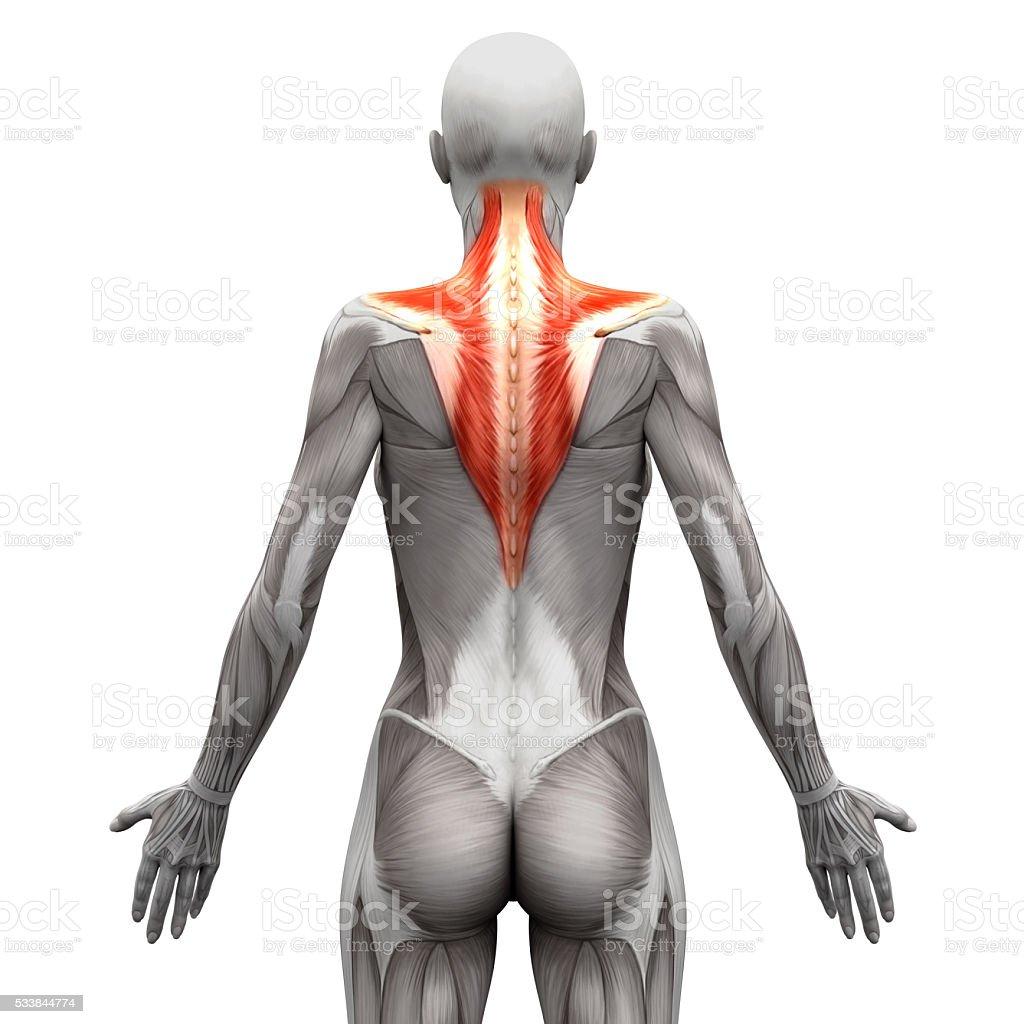 Fotografía de Músculo Trapecio De Anatomía Músculos Aislado Sobre ...