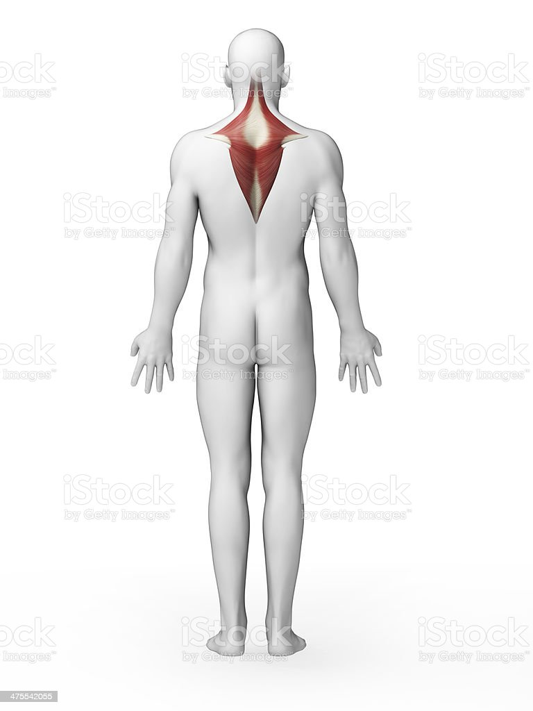 Trapezius Muscle Stock Photo More Pictures Of Anatomy Istock