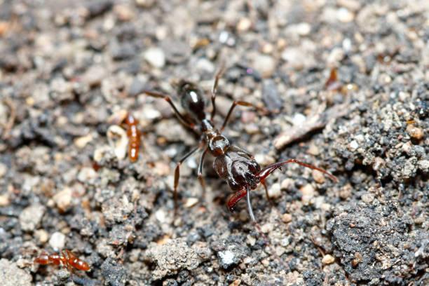 Trap-jaw ant (Odontomachus simillimus) stock photo