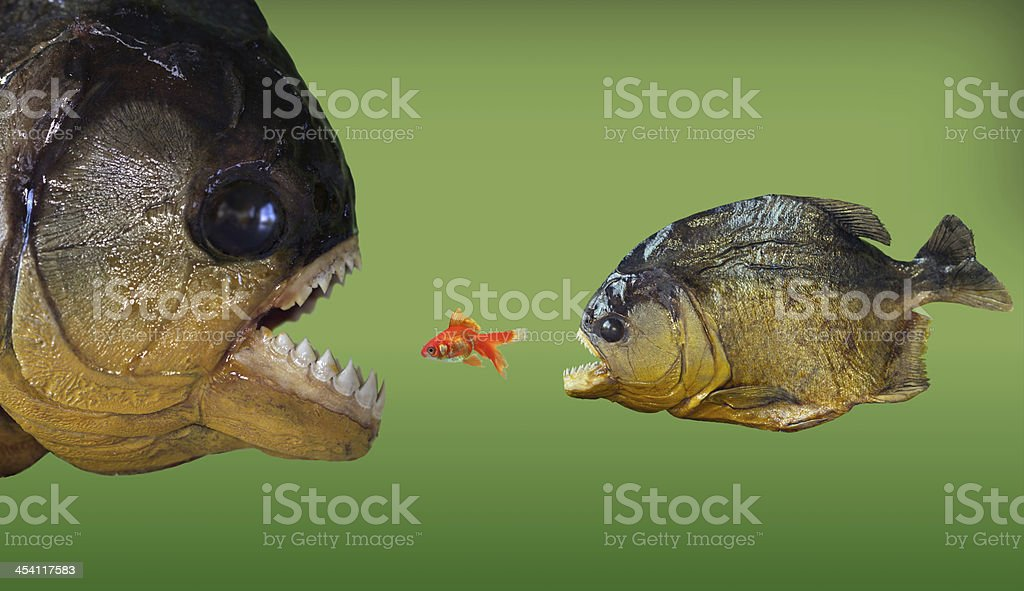 Trapped - Big fish eat smaller one stock photo