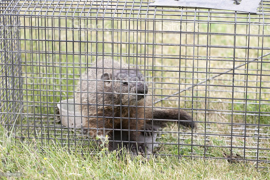 Trapped woodchuck royalty-free stock photo
