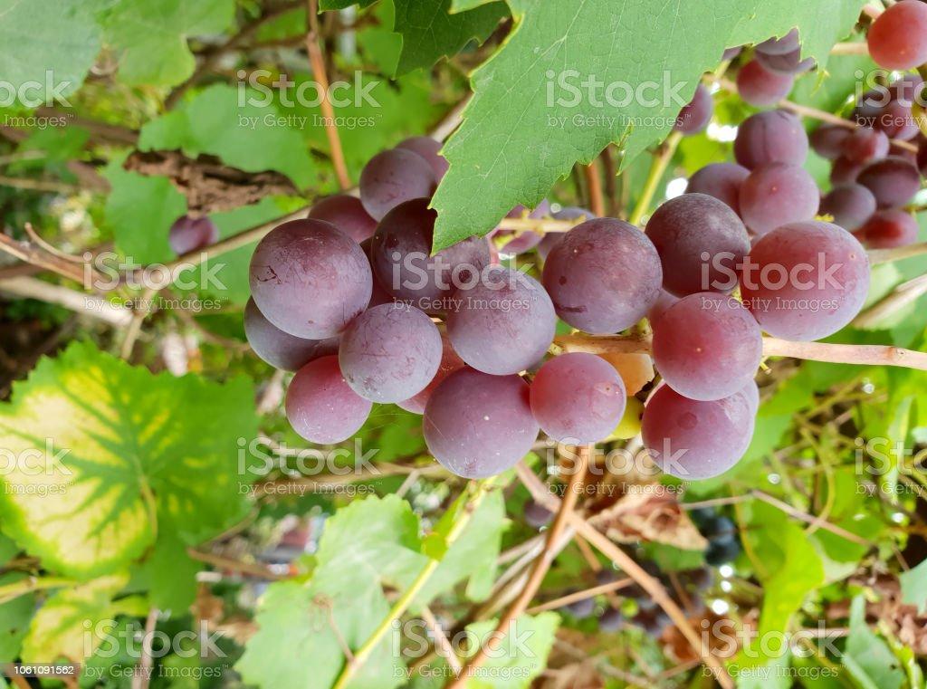 Traubenernte stock photo
