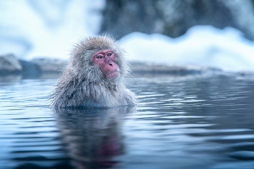istock Travel Asia. The Red-cheeked monkey is soaking in the water to relax the cold happily. During winter, You see monkeys soaking at Hakodate is popular hot spring. The snow monkeys soak in Japan. 1176291374