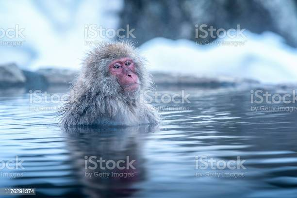 Travel asia the redcheeked monkey is soaking in the water to relax picture id1176291374?b=1&k=6&m=1176291374&s=612x612&h=ksvrdlt 6nwufgfds6xu ddh4ktkqtosweps dl3fsq=