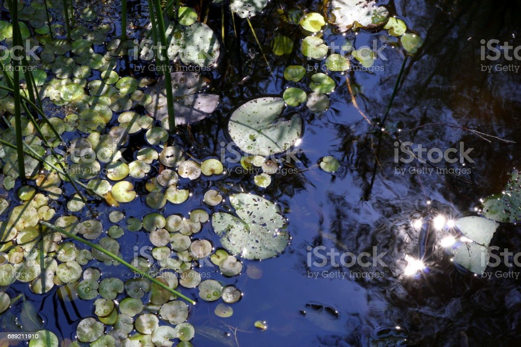 Travel to Arkaim, Russia. Leaves of the water lilies on the pond in the sunlight. stock photo