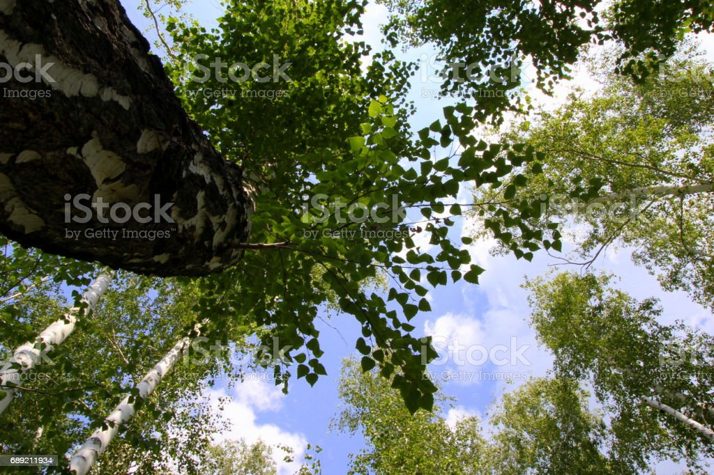 Travel to Arkaim, Russia. The look in the sky through the trees. stock photo