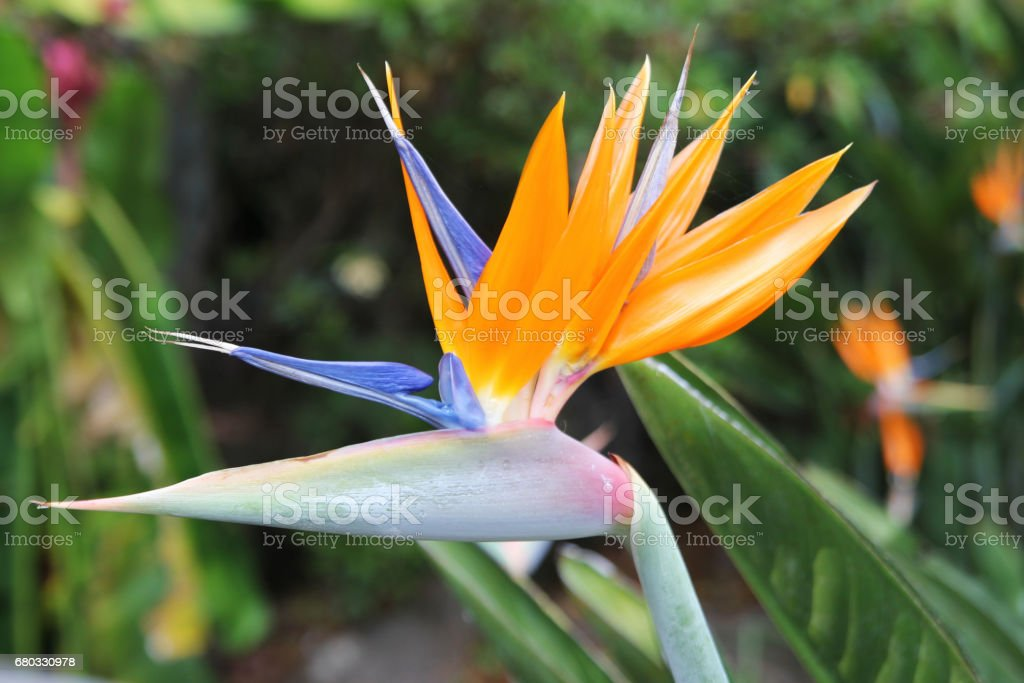 Travel to Chiangmai, Thailand. The flower of the orange and blue strelitzia on the branch in a garden. royalty-free stock photo