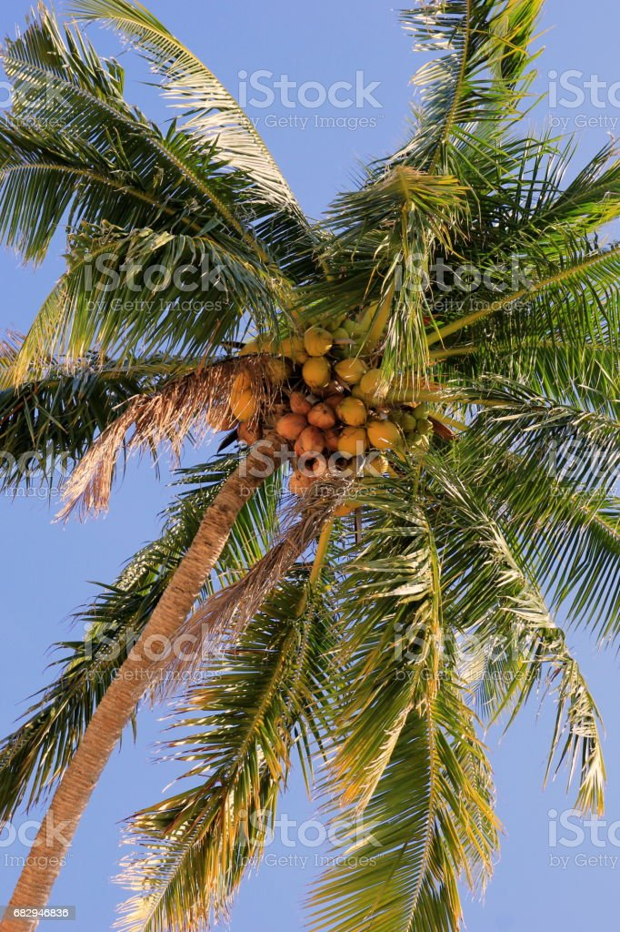 Travel to island Koh Chang, Thailand. The coconut palm. foto de stock libre de derechos