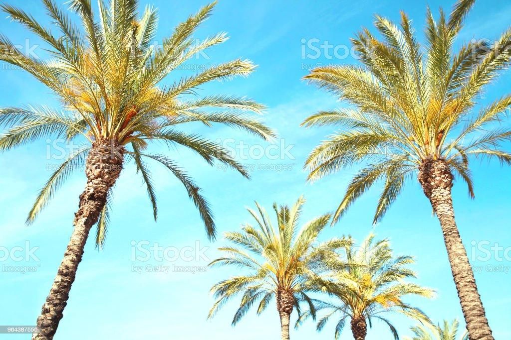 Viagens, turismo, férias, natureza e verão conceito de férias - palm fundo de árvores, o azul do céu - Foto de stock de Azul royalty-free