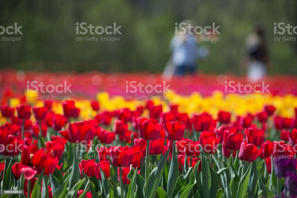 Travelers in tulip field picking flowers in soft focus with red tulips stock photo