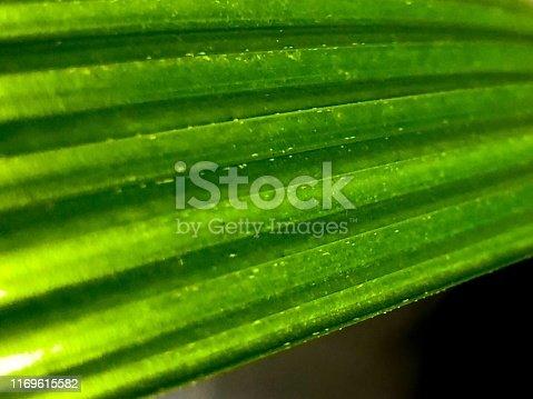 936373320 istock photo Traveler's Palm leaf 1169615582